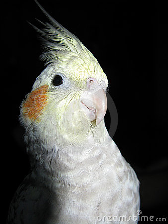 Cockatiel black background