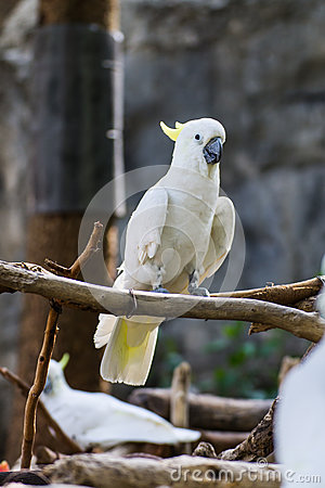 Cockatiel in Chiangmai Zoo , Thailand