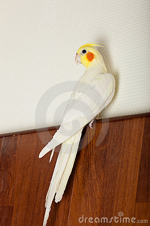 Free Cockatiel, Cockatoo Parrot, Quarrion, Weero Royalty Free Stock Photography - 13126027