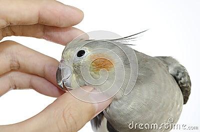A Cockatiel Hen Enjoying Scratching of Her Head