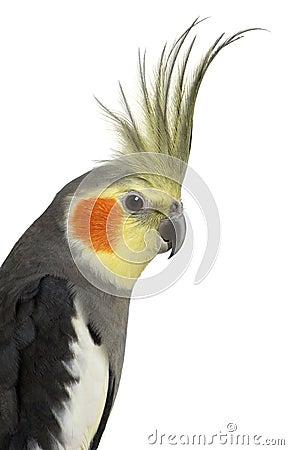 Free Cockatiel, Nymphicus Hollandicus Stock Photography - 15228762