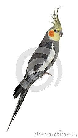 Free Cockatiel, Nymphicus Hollandicus, Perched Stock Image - 15228761