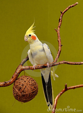 Free Cockatiel On A Branch Royalty Free Stock Images - 23610809