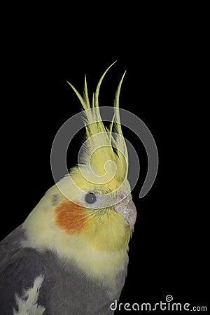 Free Cockatiel Portrait Royalty Free Stock Photos - 11351528