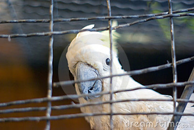 Cockatoo in cage