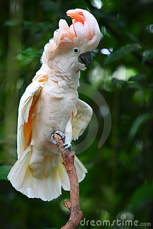 Free Cockatoo In A Tree Royalty Free Stock Image - 17872406