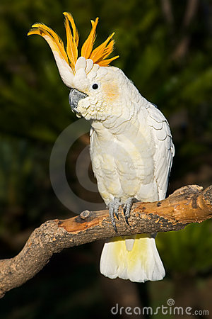 Free Cockatoo Looking Left Stock Images - 5266504