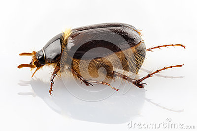 Cockchafer or june beetle Amphimallon solstitialis