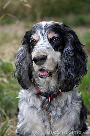 Free Cocker Spaniel Royalty Free Stock Images - 6989059