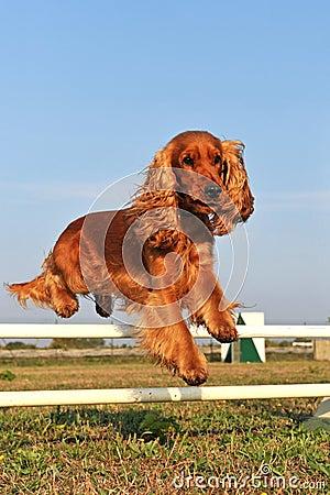 Cocker spaniel in agility