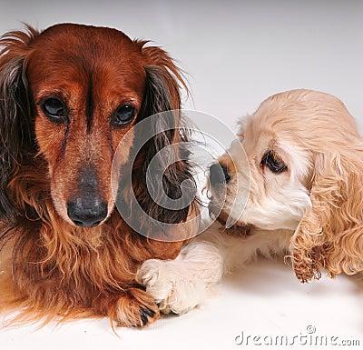 Free Cocker Spaniel And Long Hair Dachshund Royalty Free Stock Photos - 54517248