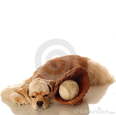 Cocker spaniel and baseball