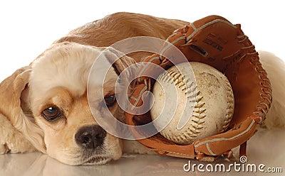 Cocker spaniel with baseball