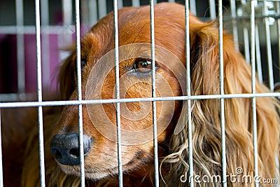 Cocker Spaniel in the cage