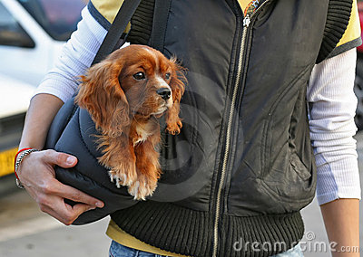 Cocker spaniel dog in the bag