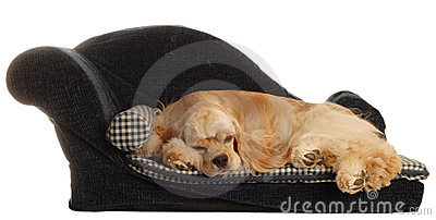 Cocker spaniel in dog bed