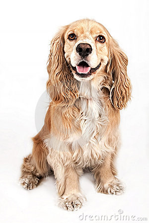 Free Cocker Spaniel Dog Isolated On White Stock Photography - 15218492