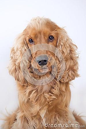 Free Cocker Spaniel Dog Portrait Royalty Free Stock Photo - 28423925