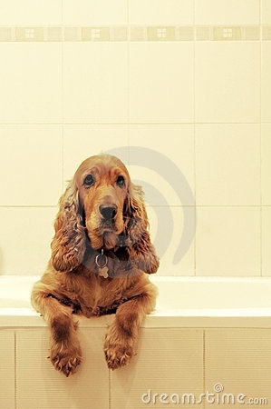 Free Cocker Spaniel In Bath Royalty Free Stock Photography - 261687