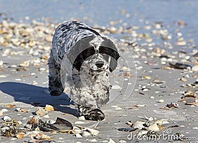 Cocker Spaniel mixed breed dog