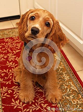 Cocker spaniel puppy #2