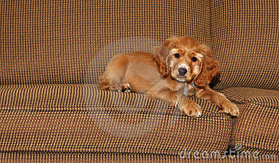 Cocker spaniel puppy on couch