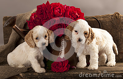Roseroyalty Flowers on Cocker Spaniel Puppy And Flower Rose Royalty Free Stock Images   Image