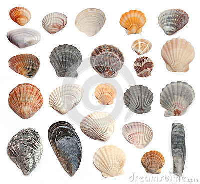 Free Cockleshells On A White Background Stock Photography - 29529842