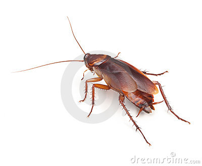 Cockroach Insect Roach Pest Control