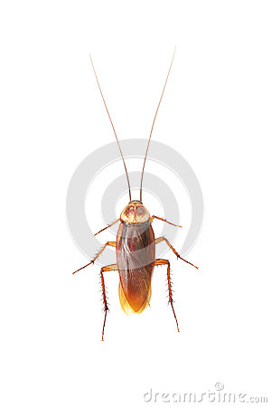 Free Cockroach Stock Photography - 32625622