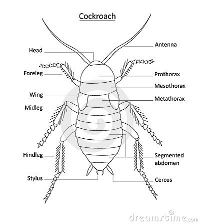 photos of cockroach diagram  labeled