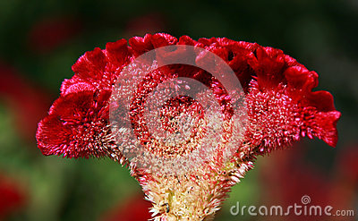 Cockscomb花