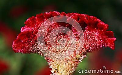 Cockscomb blomma