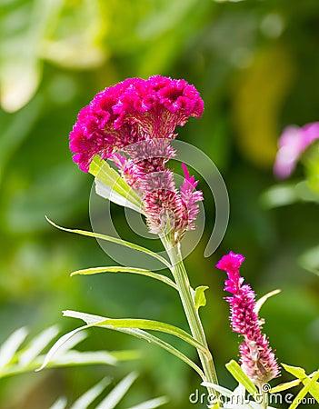 Free Cockscomb Flower Royalty Free Stock Photo - 26583125