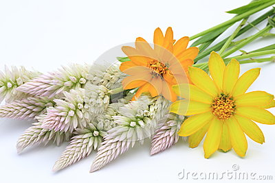 Cockscomb and zinnia in a white background