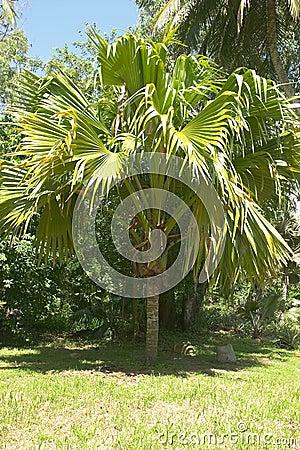 Coco-de-mer coconut palm