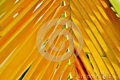 Coco palm tree yellow leaf