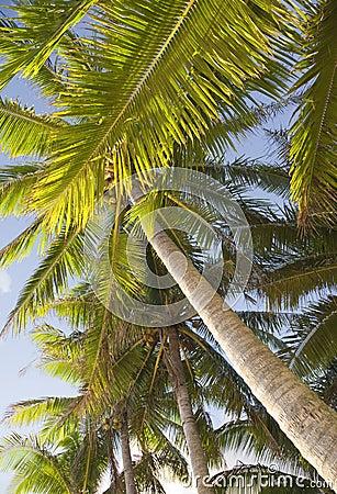 Coco Palms