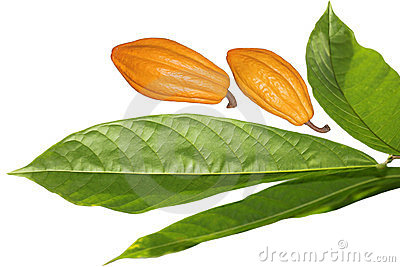 Cocoa Bean and Leaf