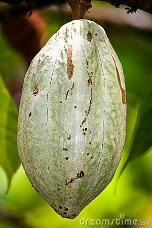 Free Cocoa Pod Royalty Free Stock Photos - 19453578