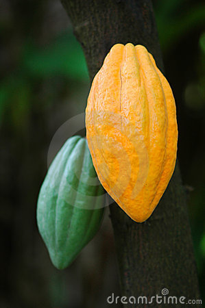 Cocoa Pods Stock Photo - Image: 8270240