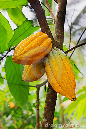 Free Cocoa Tree With Pods Stock Photos - 20241573