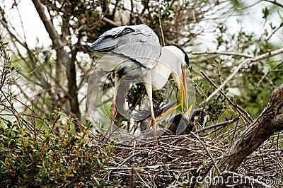 Cocoi Heron (Ardea cocoi) and kids