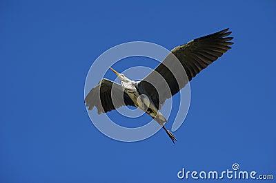 Cocoi Heron (Ardea cocoi) landing