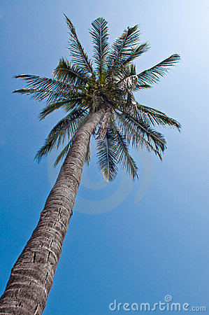 Coconat or palm.