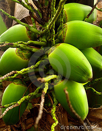 Free Coconut 10 Royalty Free Stock Photography - 1120627
