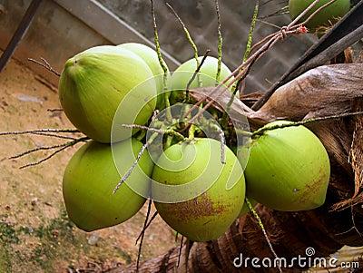 Coconut 3