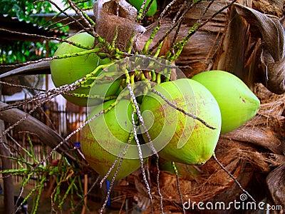 Coconut 9