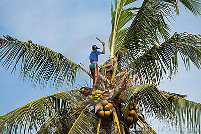 Coconut climber Editorial Image
