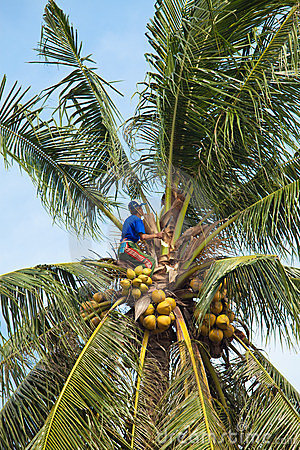 Coconut climber Editorial Stock Photo